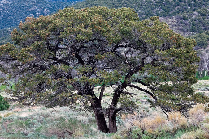 another piñon pine