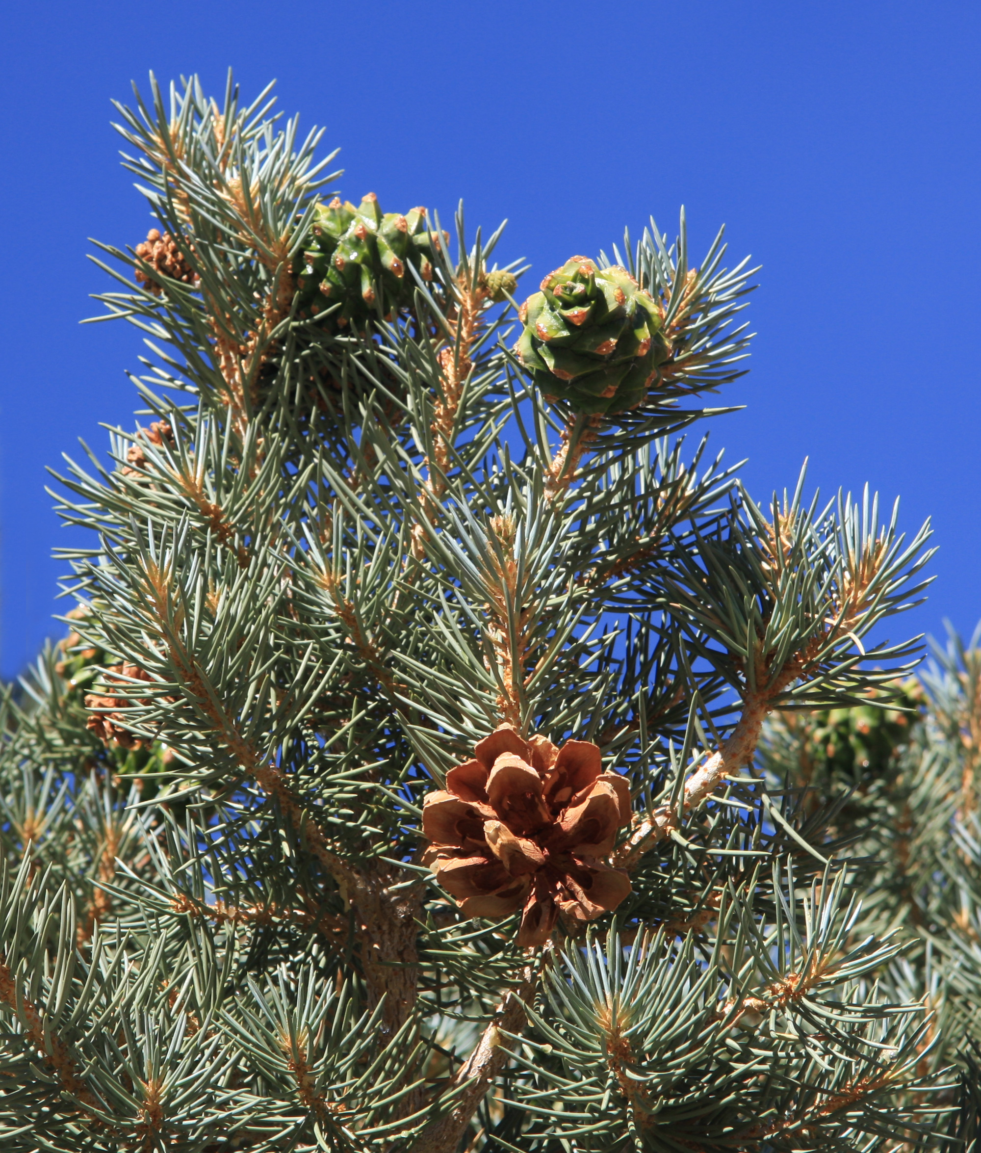 piñon pine cone