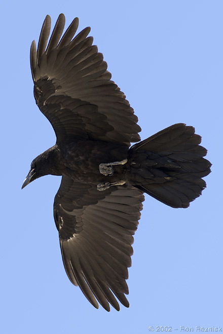 soaring raven avatar