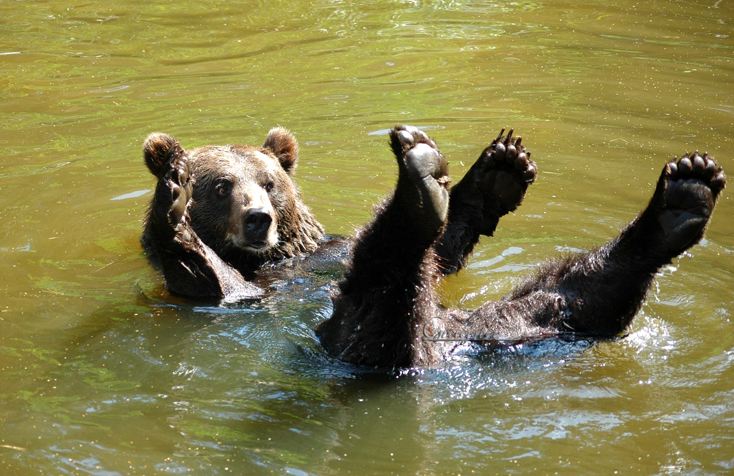 swimming bear link to bear album