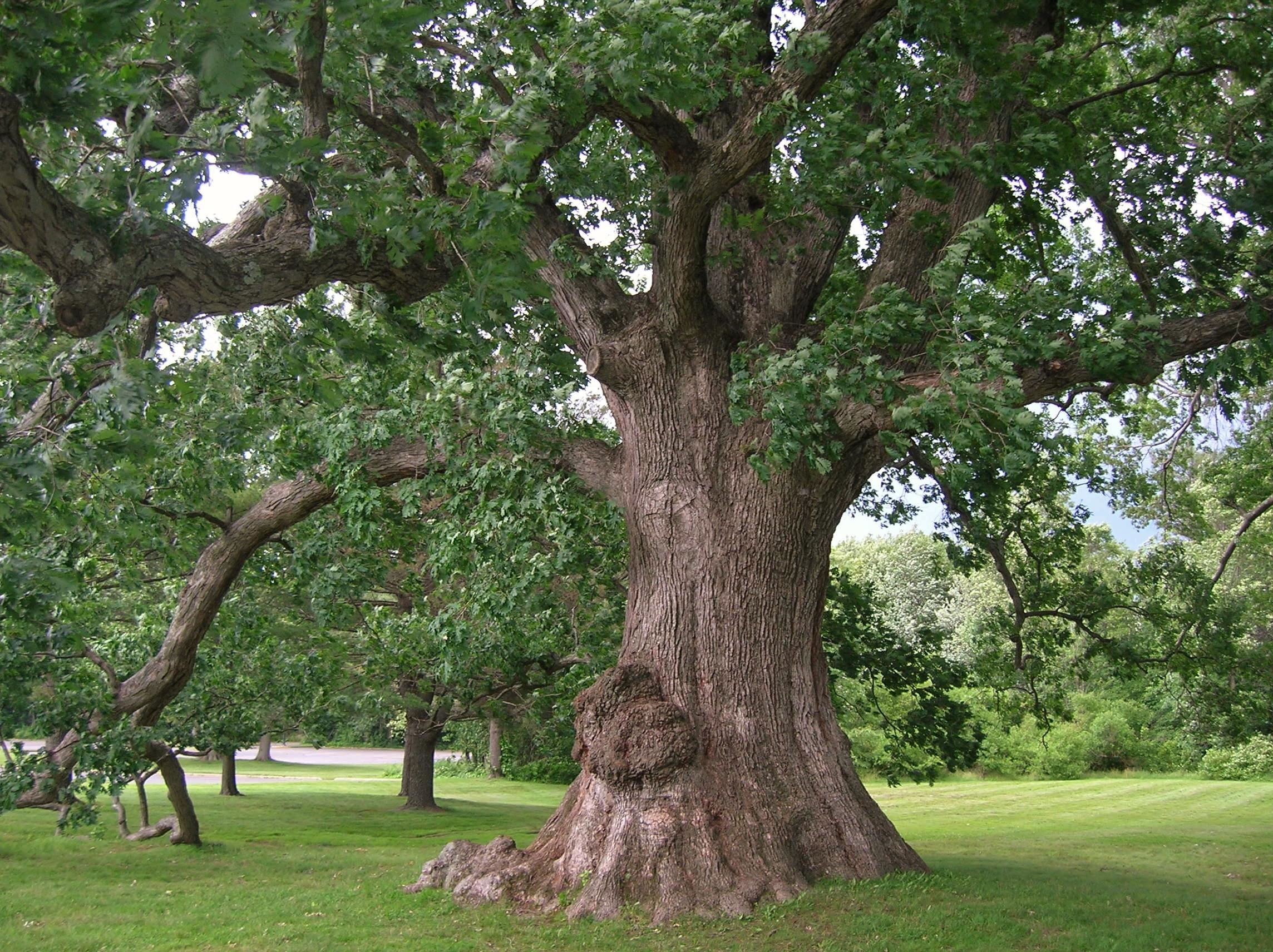 White Oak Tree, West Hartford, CT - June 17, 2013