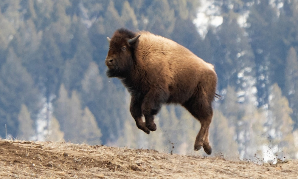 flying bison