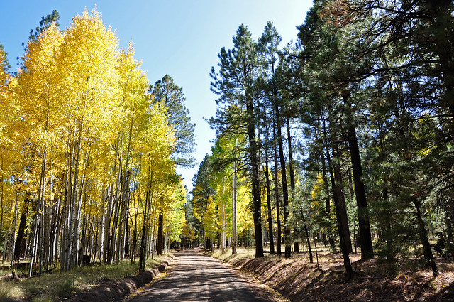 northern AZ forest with aspen