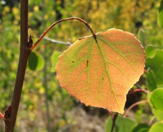 quaking aspen leaf